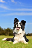 Rand-Collie Stockfoto