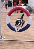 Rand-Collie, der durch Ring springt Lizenzfreies Stockbild