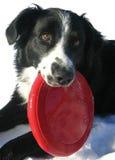 Rand-Collie mit rotem Frisbee Stockbild