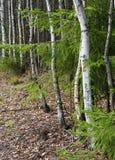 Am Rand einer Birkenwaldung Stockfotografie