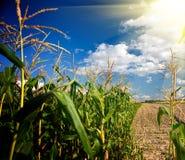 Rand eines Maisfeldes am Nachmittag Lizenzfreie Stockfotos