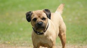 Rand-Terrier lizenzfreies stockfoto