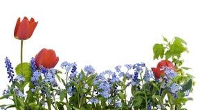 Rand vom Myosotis und von den Tulpen stockbilder