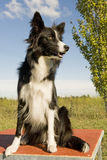 Randcollie Stockbild