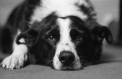 Randcollie stockfoto