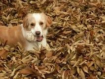 Randcollie, der in den Blättern spielt Stockbild