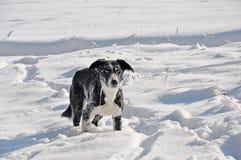Randcollie im Schnee Stockbilder