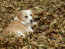 Randcolliemischung in den Blättern Stockfotos