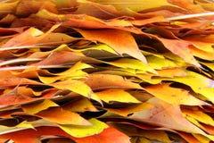 Randen van de herfstbladeren van een esdoorn Stock Foto