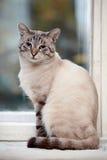 Randig blåögd katt Arkivfoton
