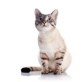 Randig blåögd katt Fotografering för Bildbyråer