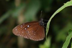 Randig blå galandefjäril på ett grönt blad royaltyfri fotografi