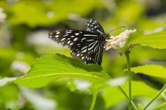 Randig blåttgalandefjäril som matar på Lantana Royaltyfri Bild