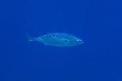 Randig bonitotonfiskfisk Fotografering för Bildbyråer