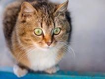 Randig brun katt med uttrycksfulla gröna ögon som nära in ser arkivfoton