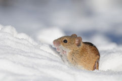 Randig fältmus i snö Fotografering för Bildbyråer