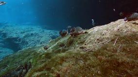 Randig fisk i cenote för buskesjöYucatan mexikan lager videofilmer