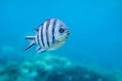 Randig fisk i Indiska oceanen Royaltyfri Bild