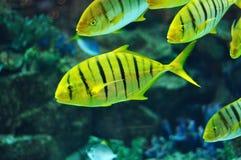 Randig fisk i salwaterakvarium Royaltyfri Bild