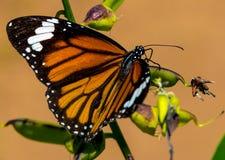 Randig fjäril för tigerDanausgenutia arkivbilder
