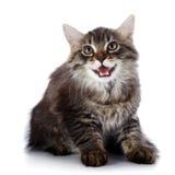 Randig fluffig mjaua kattunge Royaltyfri Fotografi