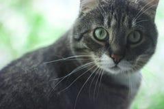 Randig gr? strimmig kattkatt som sitter p? den gr?na bakgrunden p? f?nstret arkivbilder