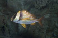 Randig grisköttfisk Arkivfoton