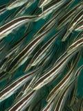 Randig havskatt Arkivfoto