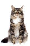 Randig katt Arkivfoto