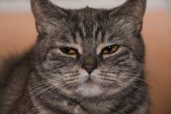 Randig katt för britt Royaltyfria Foton