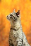 Randig katt i höstplats Arkivbild