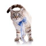 Randig katt med en blå pilbåge Royaltyfri Foto