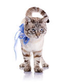 Randig katt med en blå pilbåge Arkivbilder