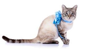 Randig katt med ett blått band Arkivfoton