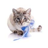Randig katt med ett blått band Royaltyfria Foton