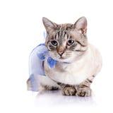 Randig katt med ett blått band Arkivbild