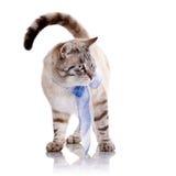Randig katt med ett blått band Royaltyfri Fotografi