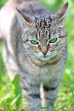 Randig katt med gröna ögon Arkivbild