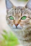 Randig katt med gröna ögon Fotografering för Bildbyråer