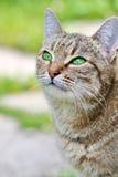 Randig katt med gröna ögon Royaltyfri Fotografi