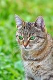 Randig katt med gröna ögon Arkivfoton