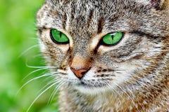 Randig katt med gröna ögon Royaltyfria Foton