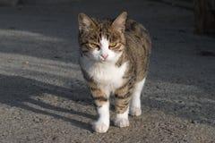 Randig katt som går ner gatan i sökande av mat royaltyfria bilder