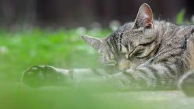 Randig katt som ligger på trädgården lager videofilmer
