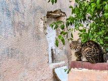 Randig katt som ligger utanför på tegelstenstaketet med bakgrund av den bruna stenväggen, gröna ögon som ser raka på kameran arkivfoto
