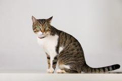 Randig katt som ser uppmärksam arkivbilder