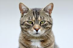 Randig kattstående Royaltyfri Foto
