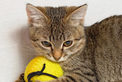 Randig kattunge. Royaltyfri Bild