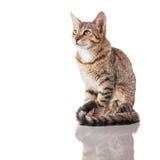 Randig kattunge för brunt Fotografering för Bildbyråer
