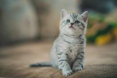 Randig kattunge för grå färger Arkivfoto